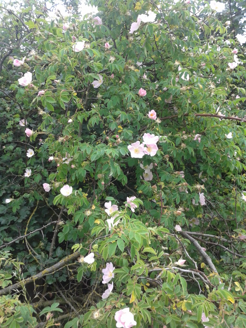 The wild roses are just perfect at the moment.