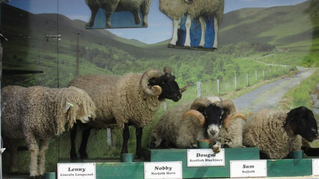 Some fine examples of some of the different species of sheep.